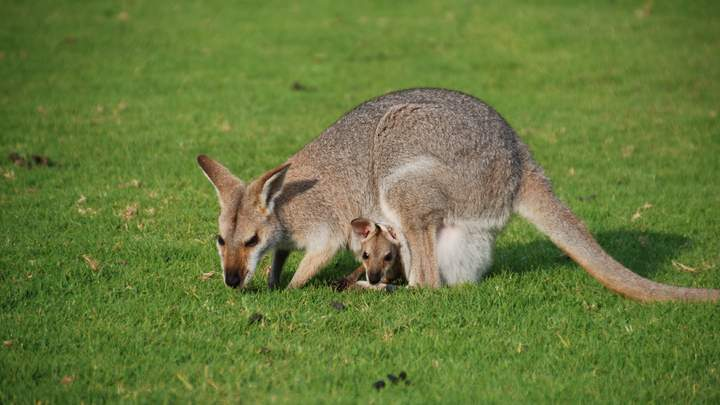 Wallaby's in de Bunya Mountains